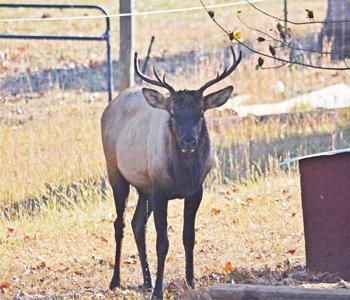 Elk return to SC after centuries | Test