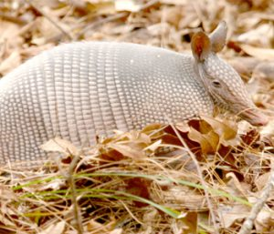 Don't touch armadillos, official urges | Test