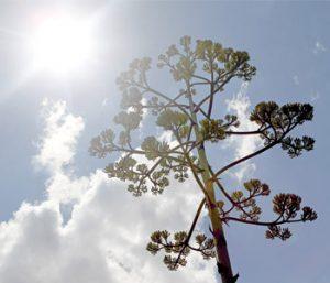 'Century plant' blooming at botanical garden | Test