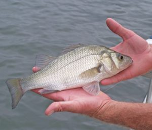 Outdoors: Try some white perch fishing | Test