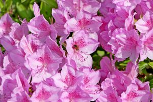 Pickens Azalea Festival starts tonight | Test