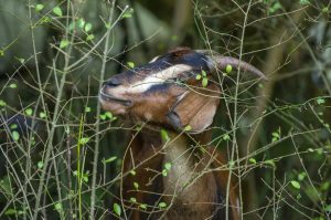 Clemson Downs turns to goats to deal with undergrowth | Test