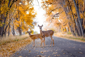 Steer clear of deer: Upstate drivers can expect increased  presence on roads with mating season