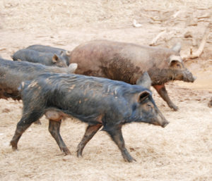 Outdoors: The truth about wild hogs | Test